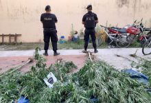 Photo of Rosario: secuestraron ocho plantas de marihuana